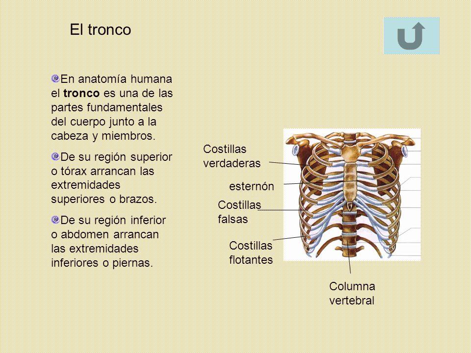 Las extremidades Los huesos de las extremidades inferiores son el fémur, la rótula, la tibia, el peroné y los huesos del pie, formadas cada una por huesos y articulaciones que se unen entre sí.