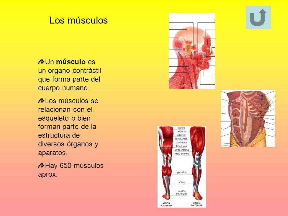 Los músculos Un músculo es un órgano contráctil que forma parte del cuerpo humano. Los músculos se relacionan con el esqueleto o bien forman parte de