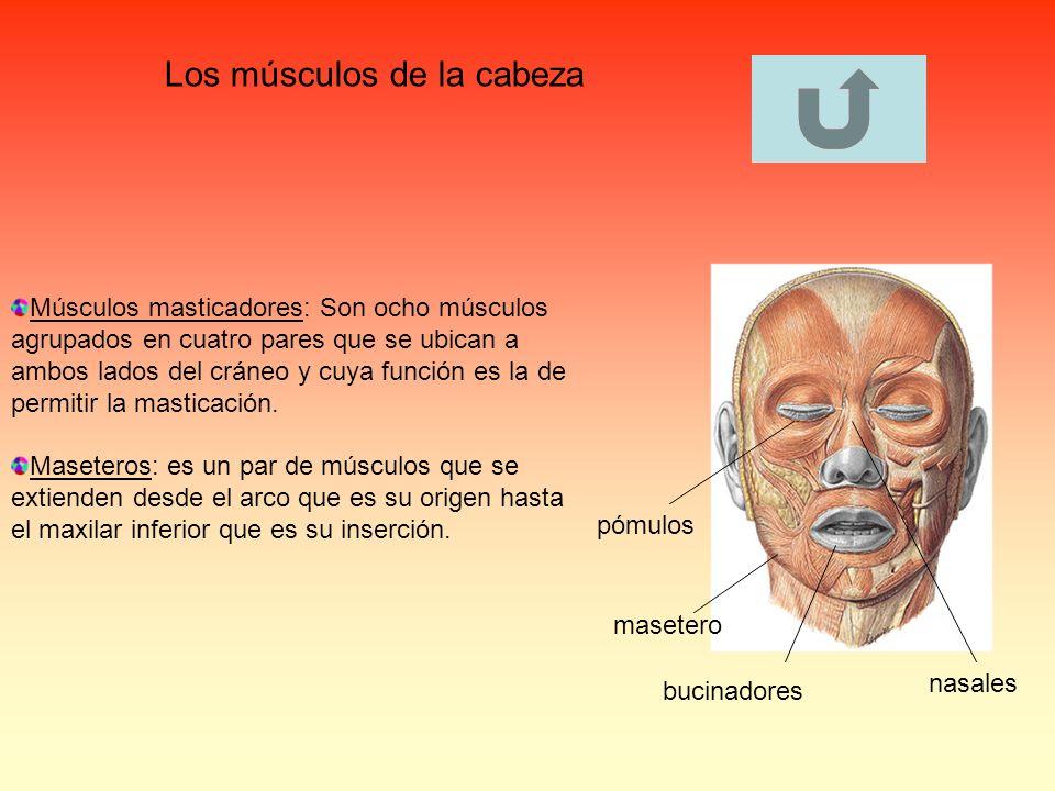Los músculos de la cabeza Músculos masticadores: Son ocho músculos agrupados en cuatro pares que se ubican a ambos lados del cráneo y cuya función es