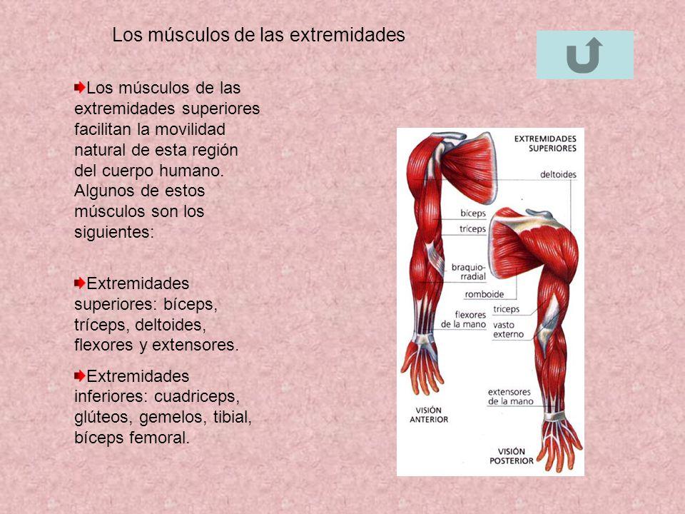 Los músculos de las extremidades Los músculos de las extremidades superiores facilitan la movilidad natural de esta región del cuerpo humano. Algunos