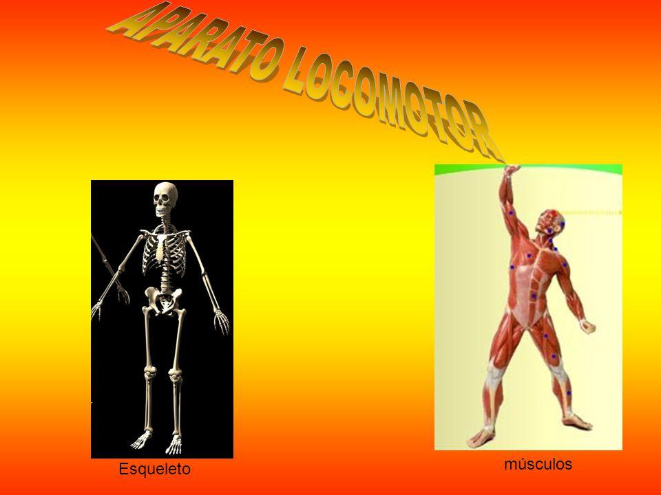 Esqueleto músculos