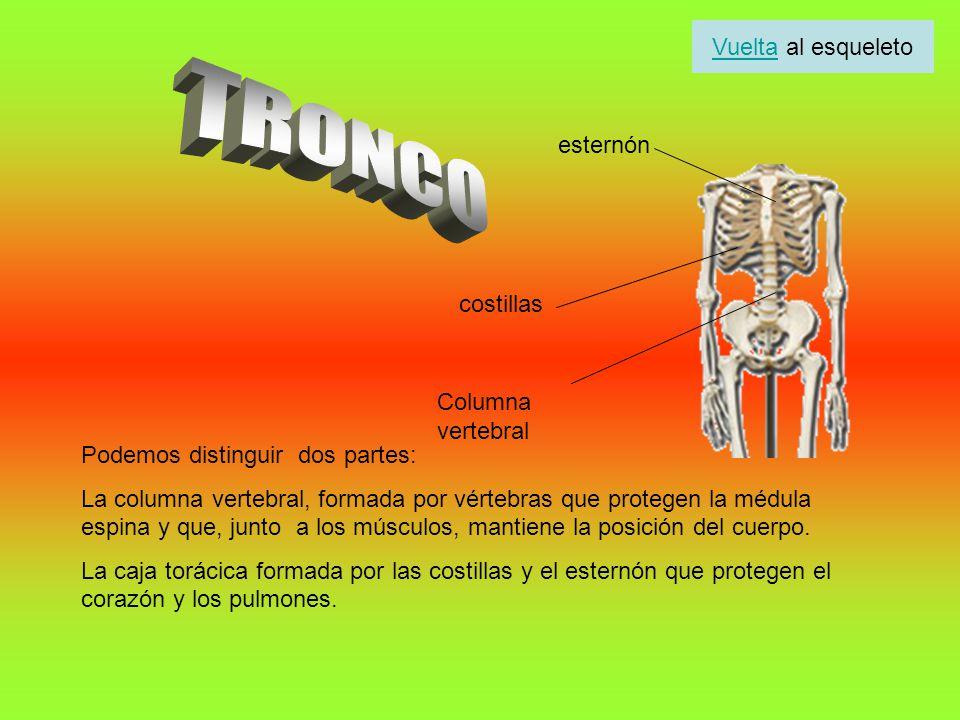 Podemos distinguir dos partes: La columna vertebral, formada por vértebras que protegen la médula espina y que, junto a los músculos, mantiene la posi