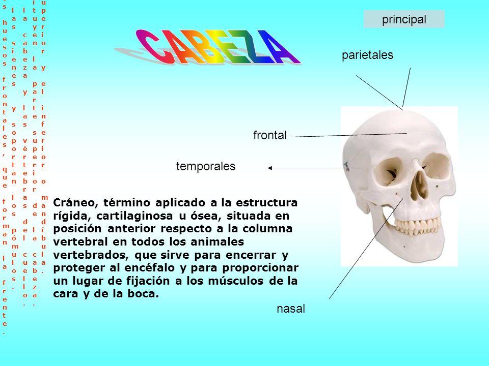 Cráneo, término aplicado a la estructura rígida, cartilaginosa u ósea, situada en posición anterior respecto a la columna vertebral en todos los anima