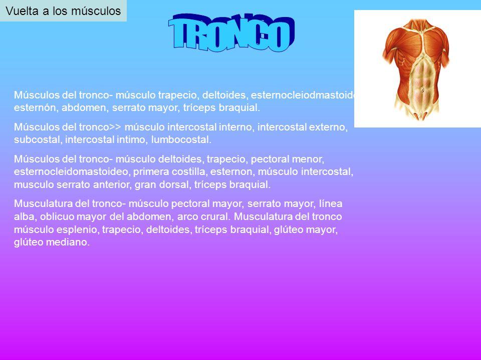 Músculos del tronco- músculo trapecio, deltoides, esternocleiodmastoideo, esternón, abdomen, serrato mayor, tríceps braquial. Músculos del tronco>> mú