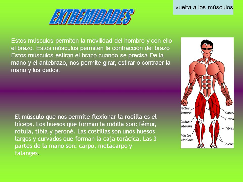 Estos músculos permiten la movilidad del hombro y con ello el brazo. Estos músculos permiten la contracción del brazo Estos músculos estiran el brazo