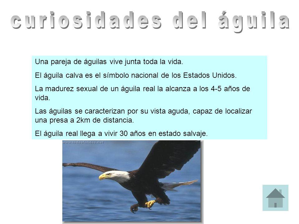 Una pareja de águilas vive junta toda la vida. El águila calva es el símbolo nacional de los Estados Unidos. La madurez sexual de un águila real la al