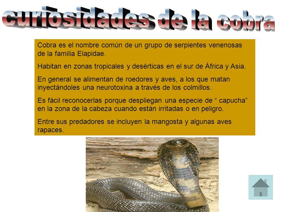 Cobra es el nombre común de un grupo de serpientes venenosas de la familia Elapidae. Habitan en zonas tropicales y desérticas en el sur de África y As