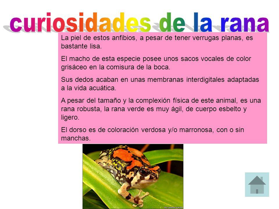 La piel de estos anfibios, a pesar de tener verrugas planas, es bastante lisa. El macho de esta especie posee unos sacos vocales de color grisáceo en