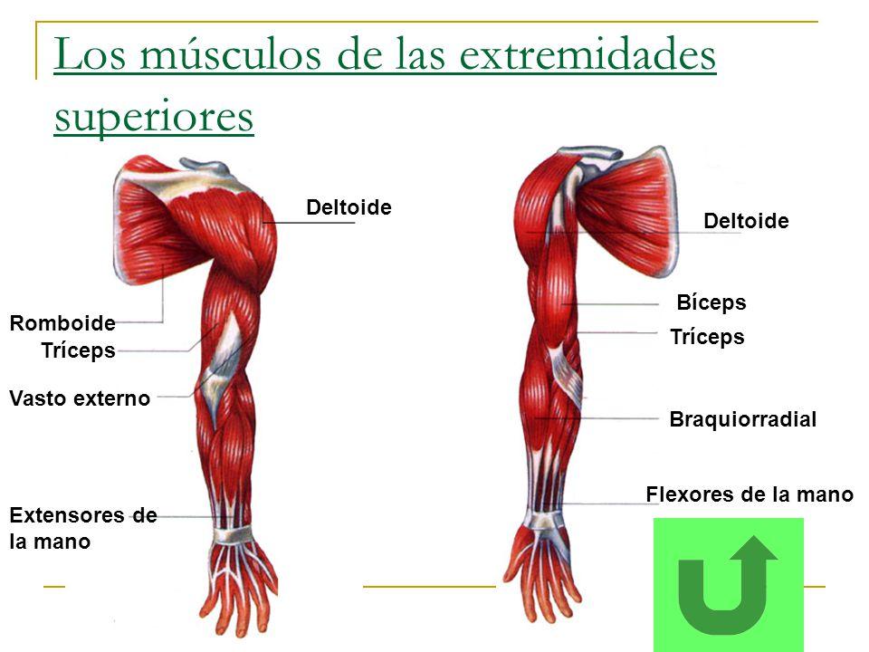 Los músculos de las extremidades superiores Deltoide Tríceps Bíceps Deltoide Romboide Tríceps Vasto externo Flexores de la mano Extensores de la mano