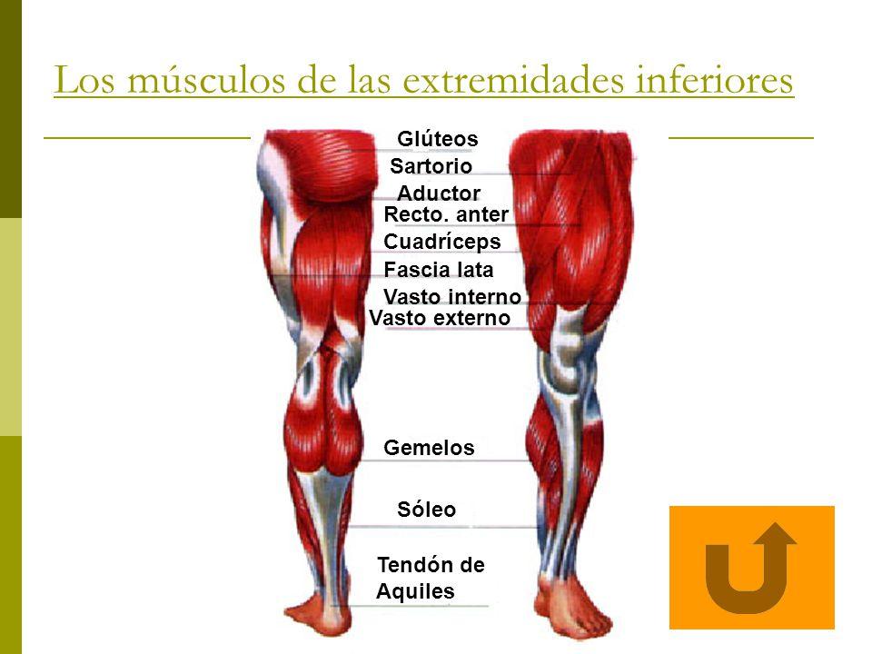 Los músculos de las extremidades inferiores Glúteos Sartorio Aductor Recto. anter Cuadríceps Fascia lata Vasto interno Vasto externo Gemelos Sóleo Ten