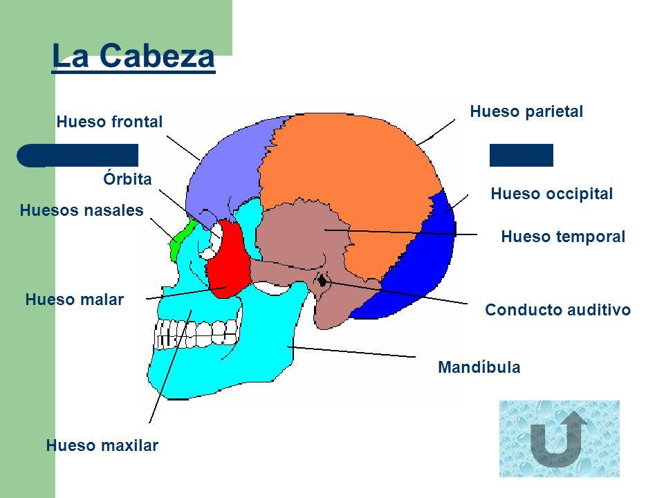 La Cabeza Hueso frontal Órbita Huesos nasales Hueso malar Hueso maxilar Mandíbula Conducto auditivo Hueso temporal Hueso occipital Hueso parietal