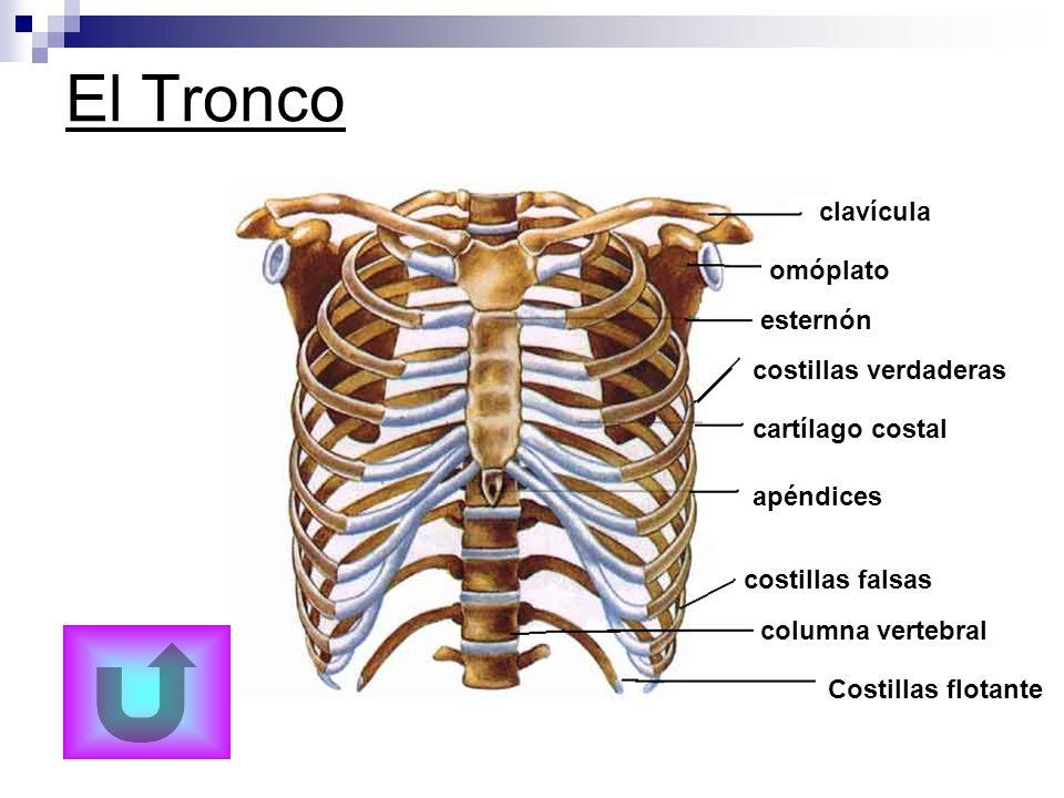 Excelente Tronco Del Cuerpo Humano Festooning - Anatomía de Las ...