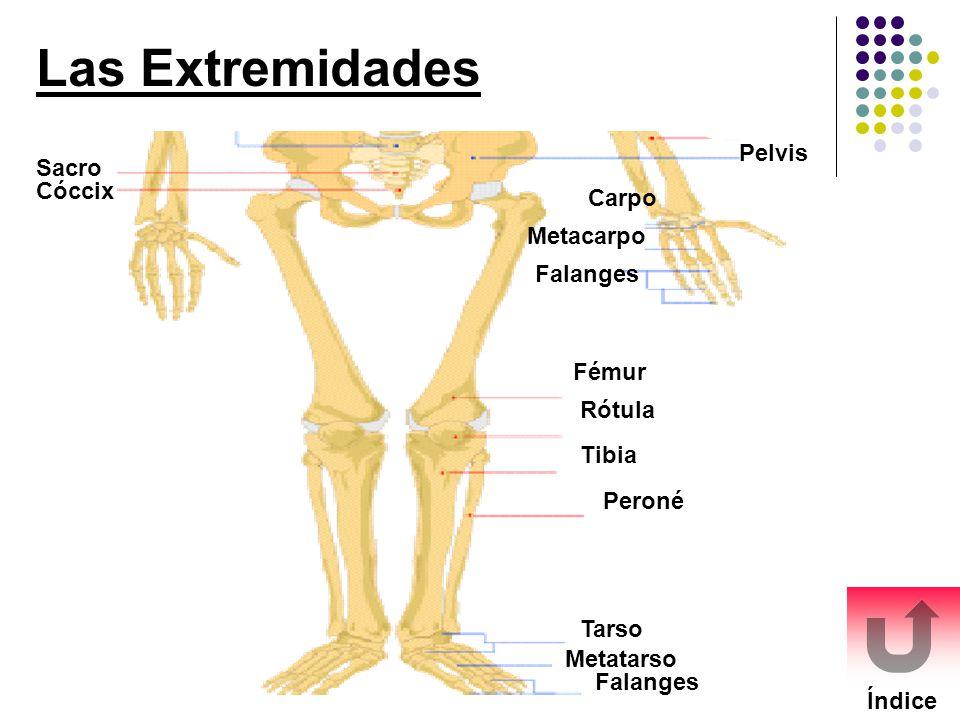 Las Extremidades Índice Sacro Cóccix Rótula Fémur Tibia Peroné Tarso Metatarso Falanges Carpo Metacarpo Falanges Pelvis