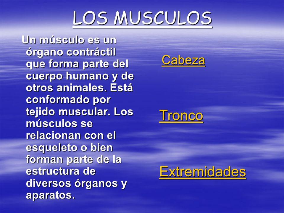 LOS MUSCULOS Un músculo es un órgano contráctil que forma parte del cuerpo humano y de otros animales. Está conformado por tejido muscular. Los múscul