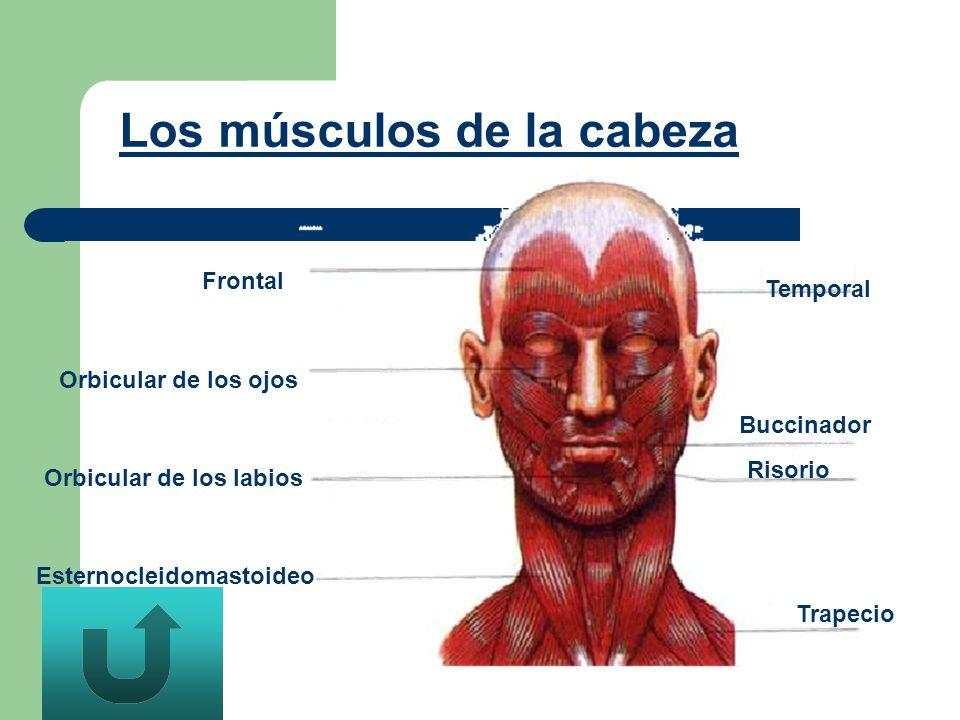 Esternocleidomastoideo Orbicular de los labios Orbicular de los ojos Frontal Temporal Buccinador Risorio Trapecio Los músculos de la cabeza