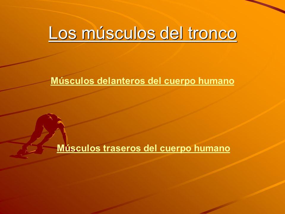Parte delantera Abdomen Oblicuo Intercostales Intersección tendinosa Pectoral menor Pectoral mayor Clavícula Músculo escaleno Trapecio Deltoides Costillas Músculo serrato Dorsal Músculo recto Oblicuo externo