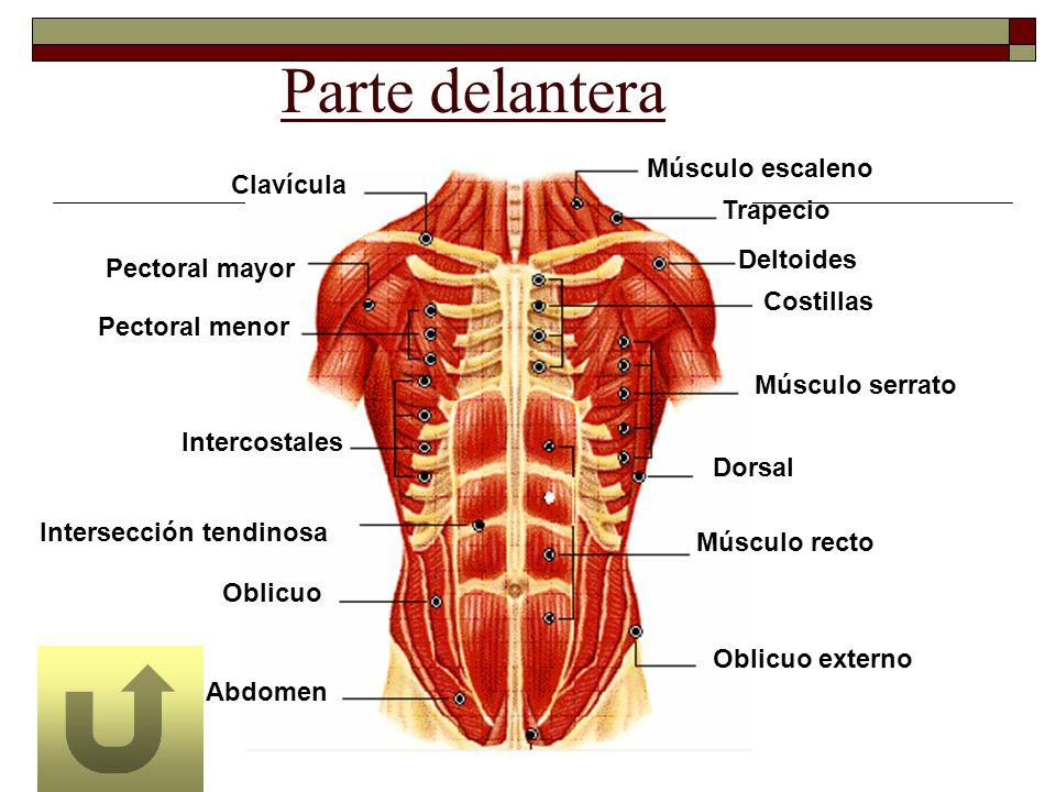 Parte delantera Abdomen Oblicuo Intercostales Intersección tendinosa Pectoral menor Pectoral mayor Clavícula Músculo escaleno Trapecio Deltoides Costi