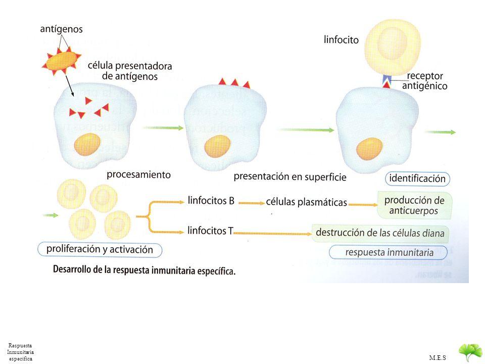 M.E.S Mecanismo Inmunidad Especifica 1.Identificación del antígeno extraño: Acoplamiento espacial de moléculas Mediante anticuerpos de la membrana de