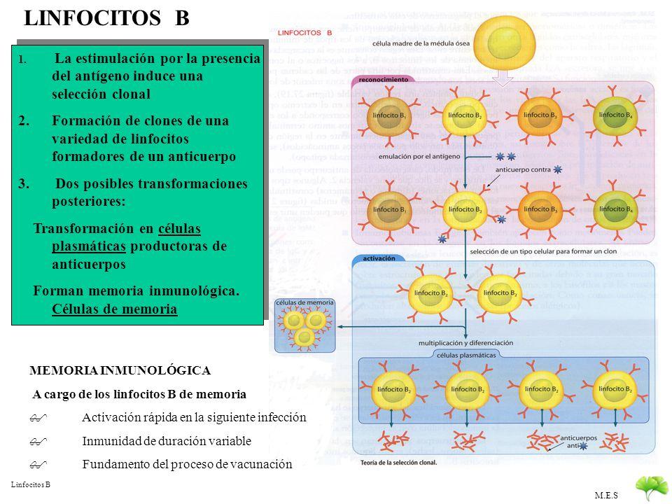 M.E.S Funciones: Reacción antigeno-anticuerpo Neutralización de toxinas Precipitación de antígenos solubles Aglutinación de antígenos celulares Opsoni
