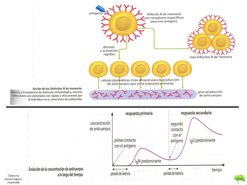 M.E.S Linfocitos B 1. La estimulación por la presencia del antígeno induce una selección clonal 2.Formación de clones de una variedad de linfocitos fo