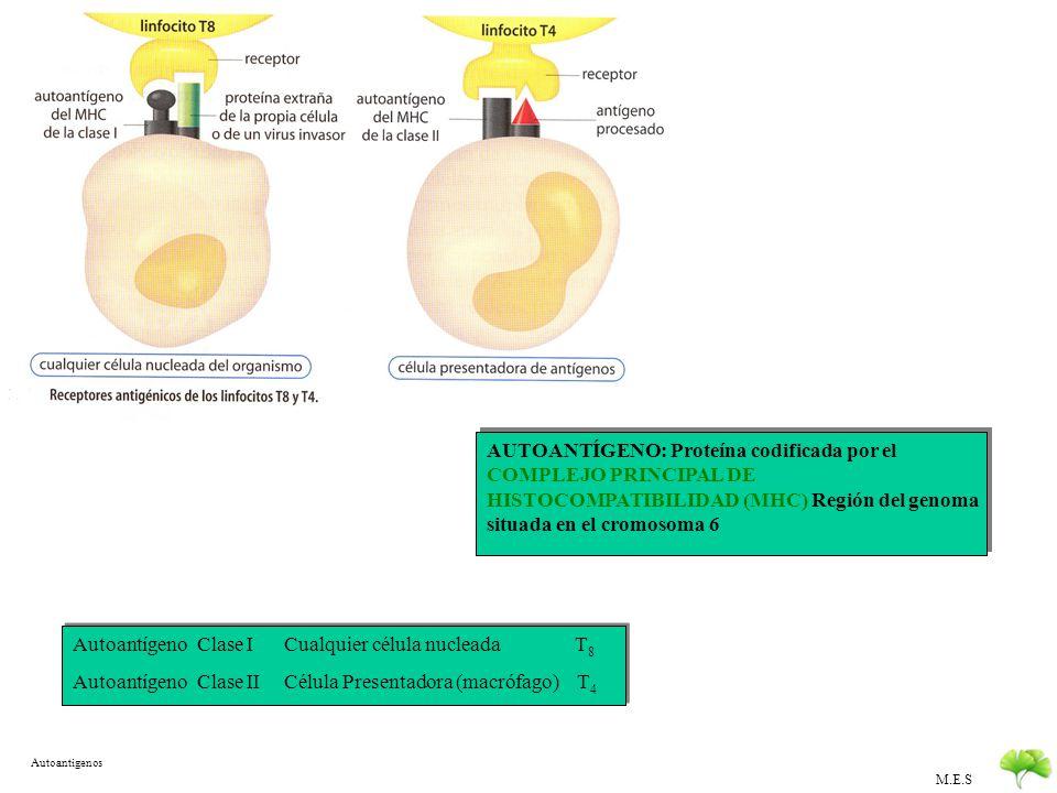 M.E.S Inmunidad mediada por Linfocitos TSe diferencian en el Timo Hay dos tipos: T 4 (Prot CD4) T H Cooperadores: Estimulan a otros linfocitos T D Est