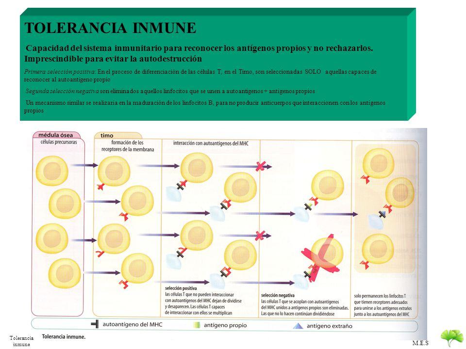 M.E.S FUNCIONES DE LOS LINFOCITOS T CITOTOXICIDAD Perforinas CITOTOXICIDAD: Linf T 8c LISIS CELULAR Endonucleasas REGULACIÓN Linf T 4H CooperadoresAct