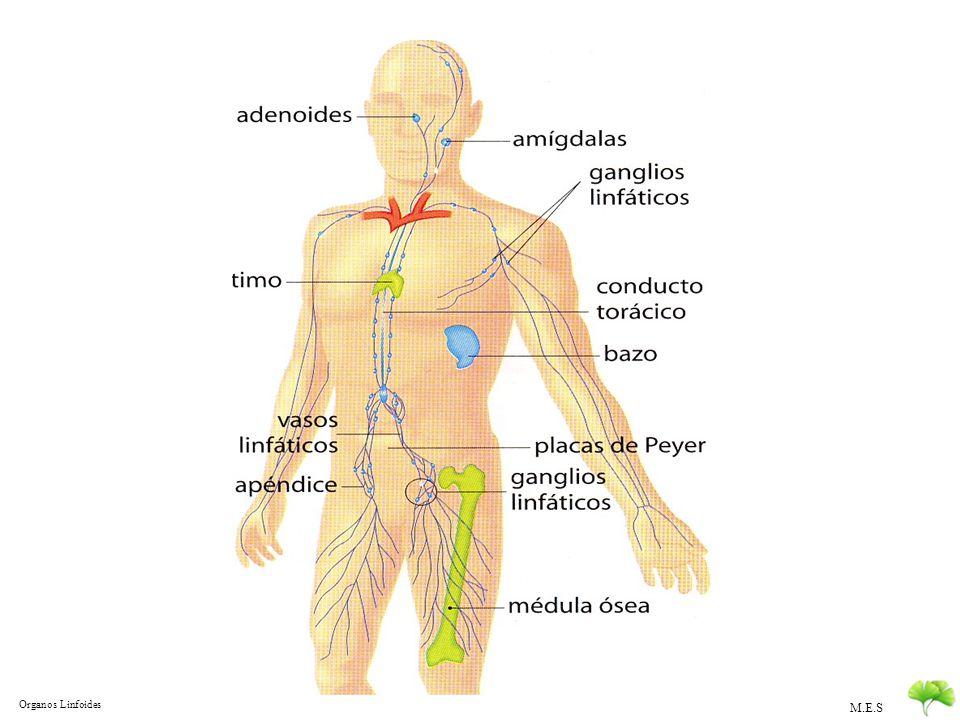 M.E.S Defensas Internas DEFENSAS INTERNAS Inespecíficas Inflamación Leucocitos El complemento Proteínas que Complementan y potencian la acción de los anticuerpos De rápida acción una vez activado Son mediadores de la inflamación Opsonización de células extrañas Lisis de células extrañas