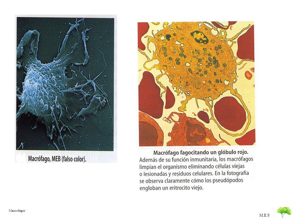 M.E.S Defensas internas especificas DEFENSAS INTERNASEspecíficas Acción de los Linfocitos Se dirigen a un tipo concreto de antígenos Se acumulan formando una memoria inmunitaria TIPOS DE LINFOCITOS LINFOCITOS B: INMUNIDAD HUMORAL Se originan en la medula ósea Sintetizan anticuerpos específicos que se difunden por los líquidos celulares LINFOCITOS T: INMUNIDAD CELULAR Se originan en el Timo Ocasionan la muerte celular LINFOCITOS no B – no T Ocasionan la muerte celular inespecífica