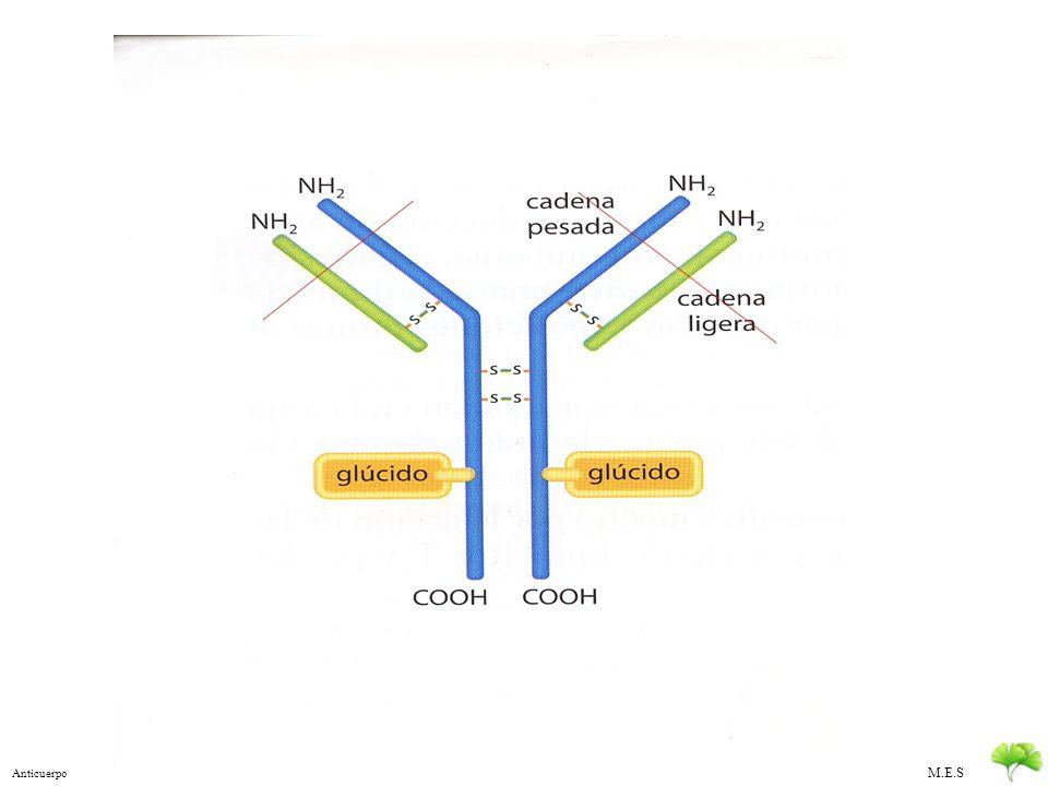 M.E.S Mecanismo Inmunidad Especifica 1.Identificación del antígeno extraño: Acoplamiento espacial de moléculas Mediante anticuerpos de la membrana de linfocitos B Mediante receptores de antígenos en linfocitos T (TCR) Reconocimiento Directo Reconocimiento Indirecto: Mediante células presentadoras de antígenos que han digerido y sitúan los antígenos en la superficie celular 2.