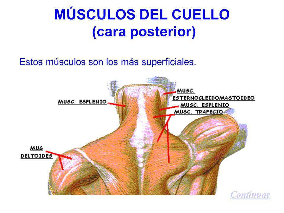 MÚSCULOS DEL CUELLO (cara posterior) Estos músculos son los más superficiales. Continuar