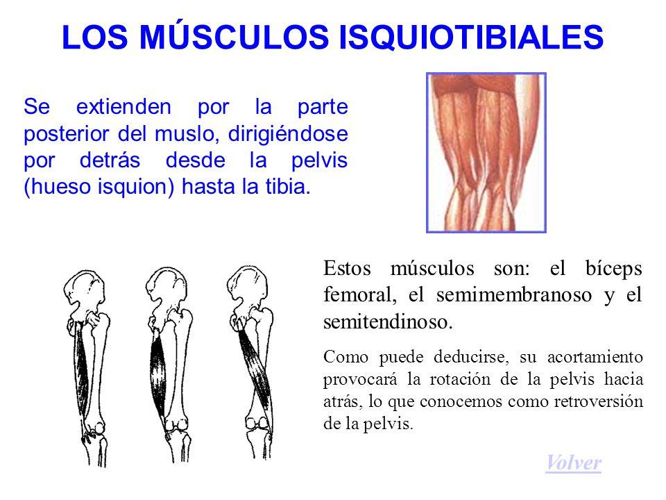 LOS MÚSCULOS ISQUIOTIBIALES Se extienden por la parte posterior del muslo, dirigiéndose por detrás desde la pelvis (hueso isquion) hasta la tibia.