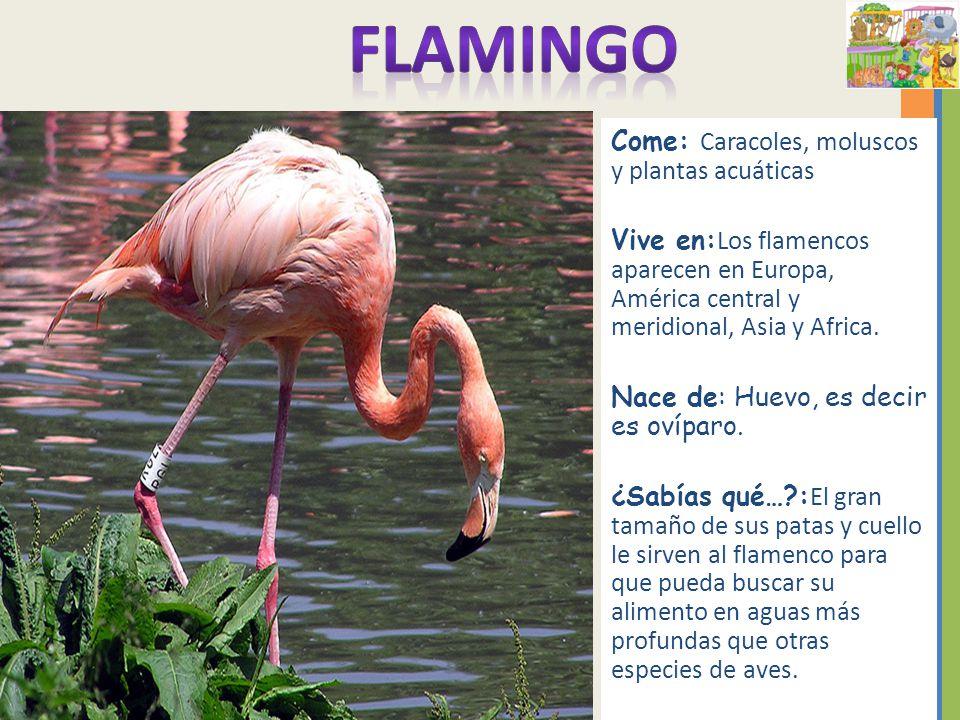 Q Comen Los Flamingos Come Caracoles  moluscos y
