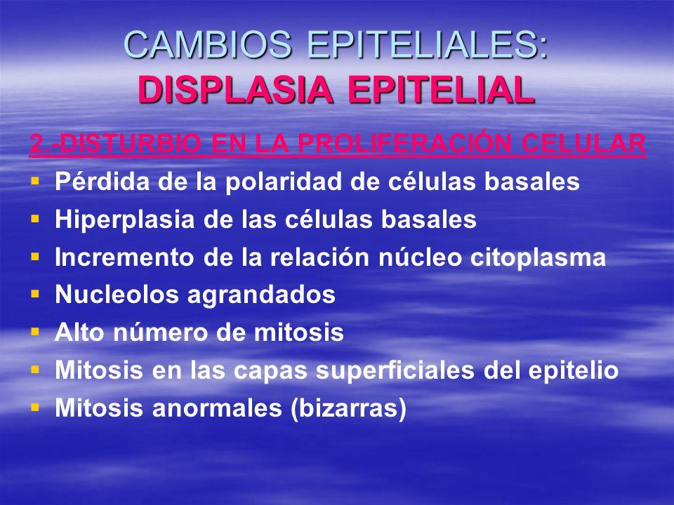 CAMBIOS EPITELIALES: DISPLASIA EPITELIAL 2.-DISTURBIO EN LA PROLIFERACIÓN CELULAR Pérdida de la polaridad de células basales Hiperplasia de las célula