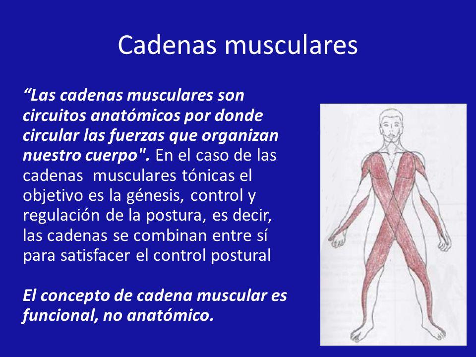 Cadenas musculares Las cadenas musculares son circuitos anatómicos por donde circular las fuerzas que organizan nuestro cuerpo .
