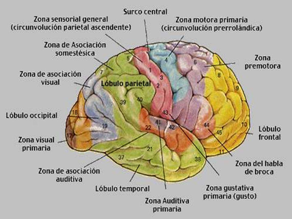 Excelente Funciones Diagrama Cerebro Festooning - Anatomía de Las ...