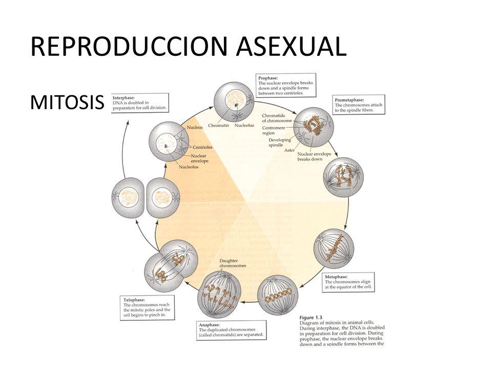 Reproduccion de hongos asexual