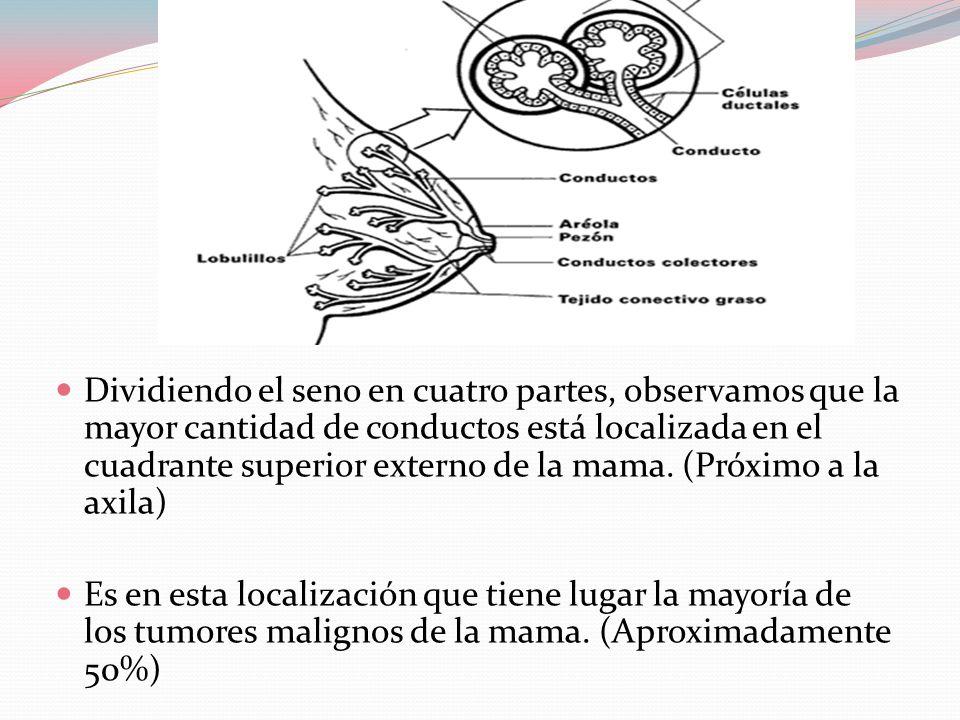  Dividiendo el seno en cuatro partes, observamos que la mayor cantidad de conductos está localizada en el cuadrante superior externo de la mama.