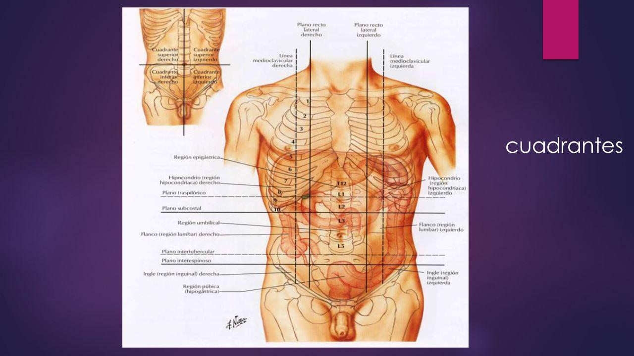 Moderno Izquierda Anatomía Cuadrante Superior Motivo - Anatomía de ...