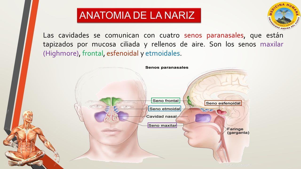 Excelente Anatomía De La Nariz Y De Los Senos Paranasales Galería ...