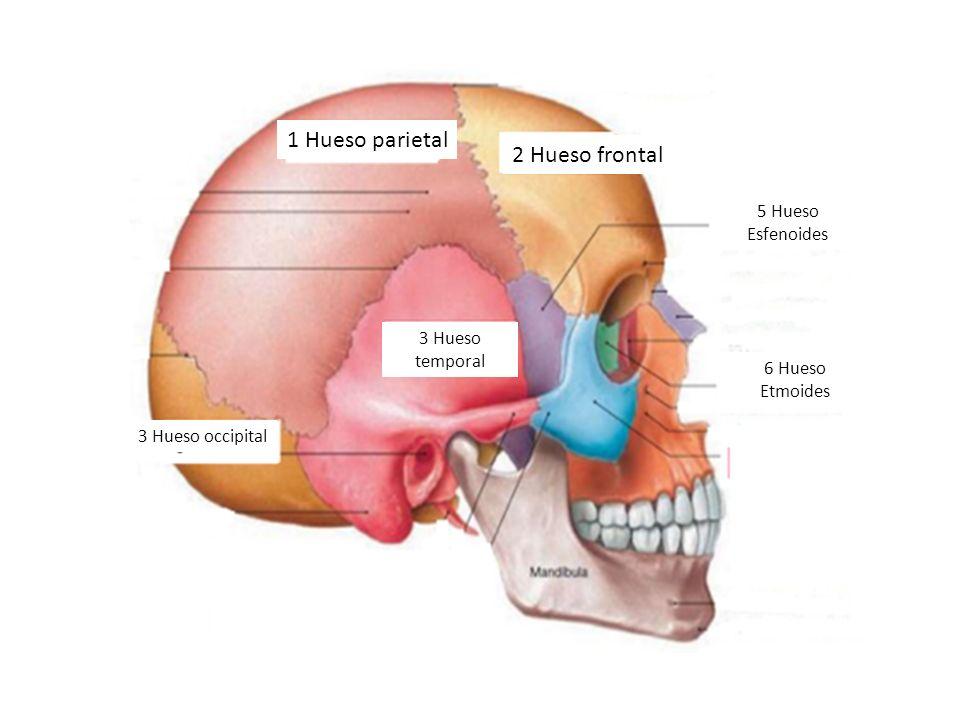 Hermosa Anatomía Hueso Etmoides Bosquejo - Anatomía de Las ...