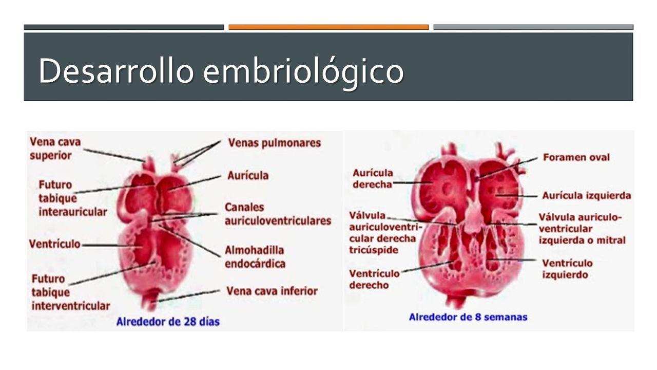 Contemporáneo La Anatomía Y Fisiología Del Corazón Del Feto Regalo ...