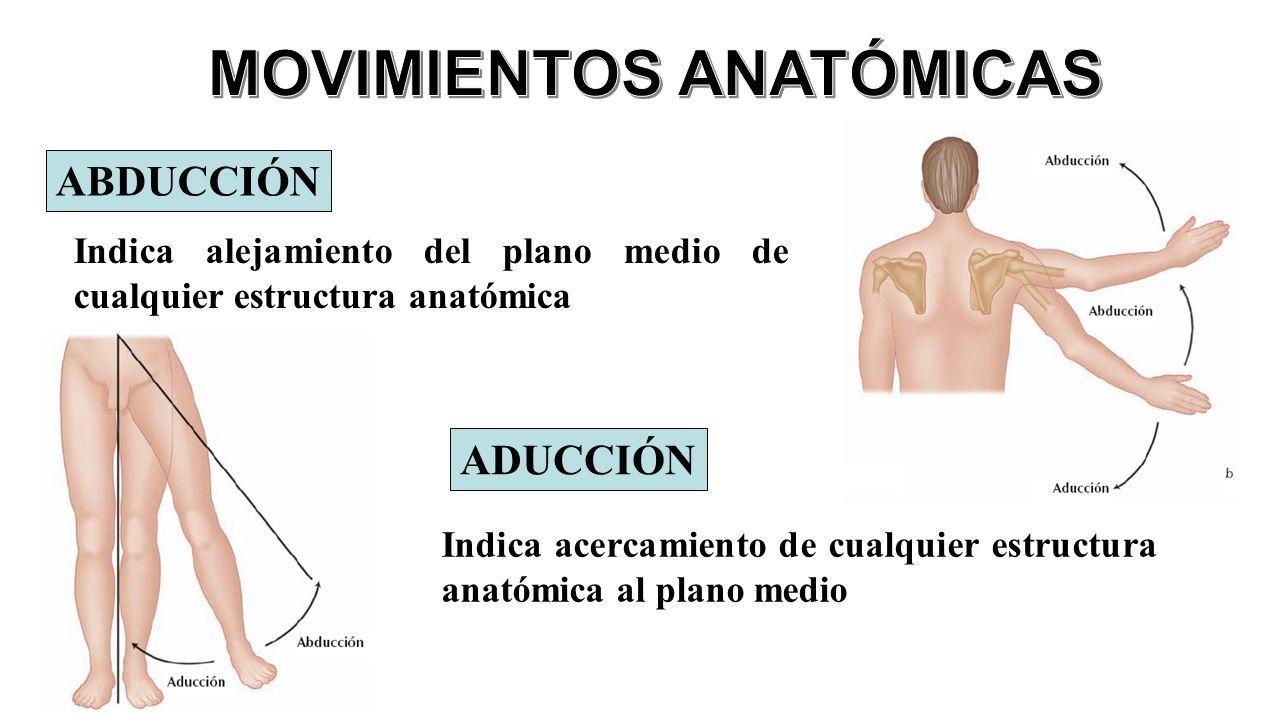 Atractivo Qué Significa La Aducción De La Anatomía Friso - Anatomía ...