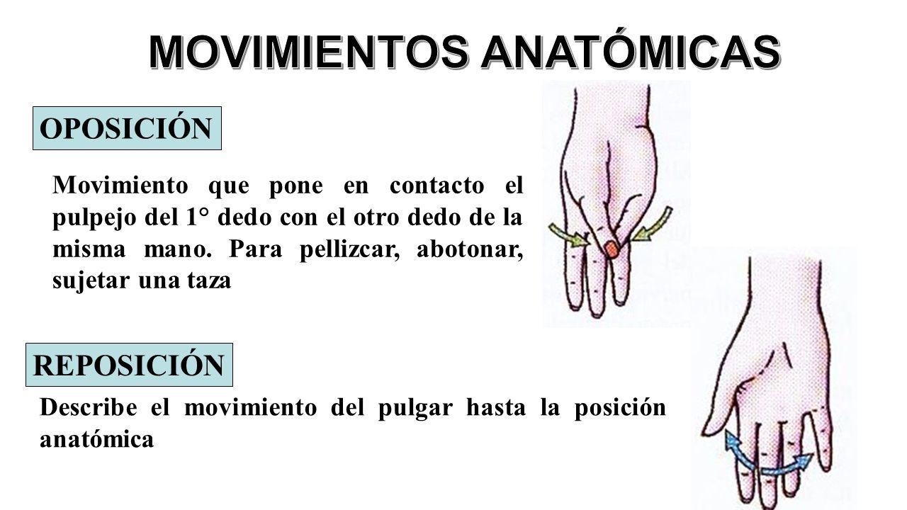 Magnífico Los Movimientos Del Pulgar Anatomía Colección de Imágenes ...