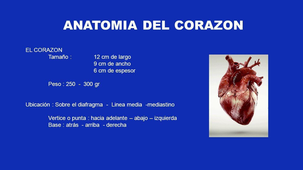 FISIOLOGIA CARDIOVASCULAR. EL CORAZON Tamaño : 12 cm de largo 9 cm ...