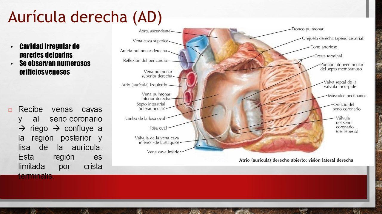 Atractivo Anatomía Ostium Coronario Viñeta - Anatomía de Las ...