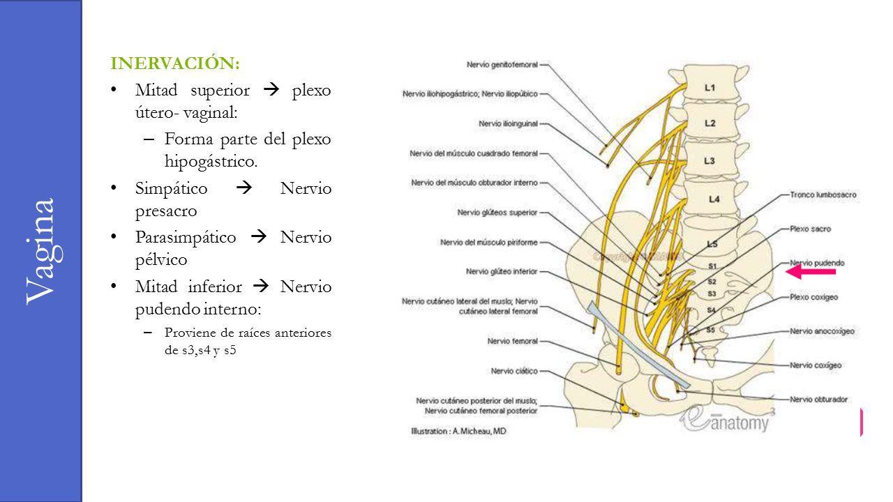 Asombroso Nervio Pélvico Patrón - Imágenes de Anatomía Humana ...