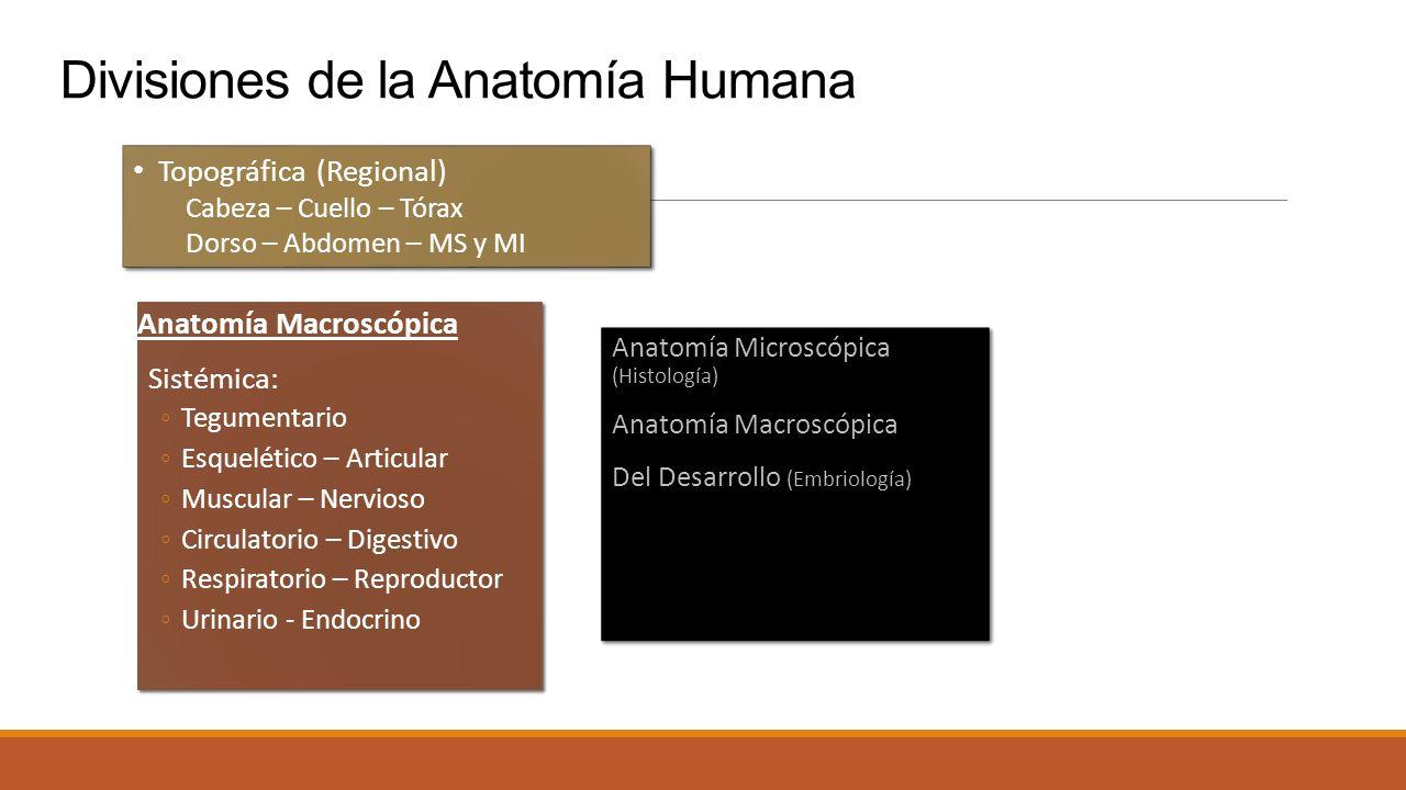 Bonito Anatomía Macroscópica Y Microscópica Bosquejo - Anatomía de ...