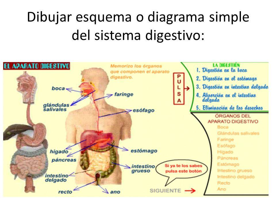 Magnífico Diagrama Del Sistema Digestivo Etiquetado Motivo ...