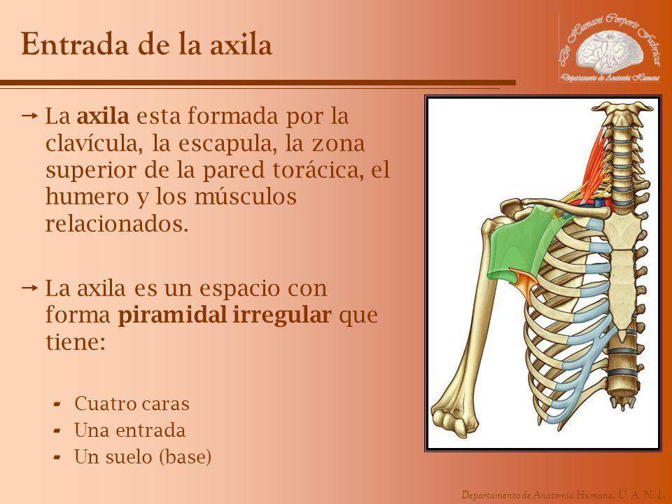 REGION AXILAR. Departamento de Anatomía Humana, U. A. N. L. Entrada ...