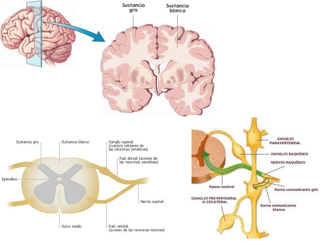 Atractivo Marieb Y Hoehn Anatomía Y La Fisiología Novena Edición ...